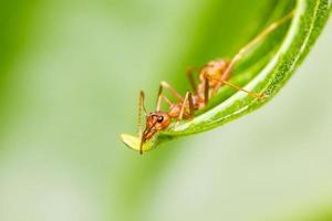 rote Ameise auf grünem Blatt foto