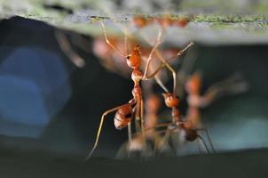 rote Ameisen foto
