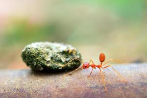 Ameise winzige Welt (Makro, selektive Fokusumgebung auf Blatthintergrund) foto