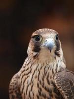 majestätischer Falke foto