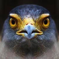 Falken Gesicht. foto