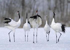japanische Kraniche singen in Hokkaido Japan. foto