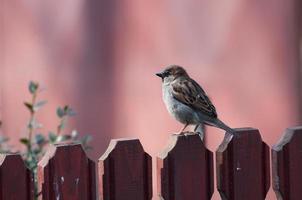 männlicher Haussperling, der auf einem Zaun ruht foto
