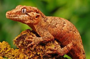 Wasserspeier Gecko foto