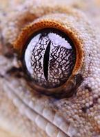 Gecko-Reptil mit Haube foto