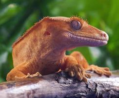 Gecko mit Haube foto