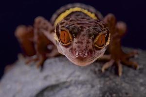 Hainan Höhle Gecko / Goniurosaurus hainensis foto