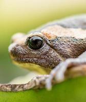 In Asien lebende Amphibien, asiatische Frösche und Kröten
