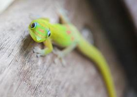 Goldstaub Tag Gecko, Hawaii. foto