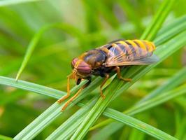 Fliegen Tabanus 3