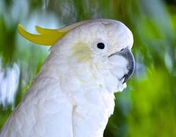 Kakadu mit unscharfem Hintergrund foto