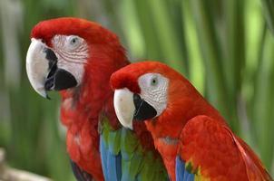 Paar scharlachroter Ara, Papageien
