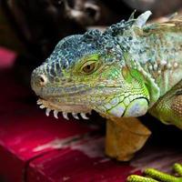 Nahaufnahme des grünen Leguans (Leguanleguan) foto