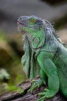 weiblicher grüner Leguan foto