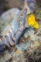 Leguan hält ein gelbes Blatt foto