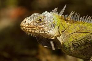 kleiner antillianischer Leguan foto