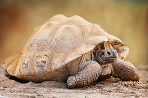 Seitenansicht der Galapagosschildkröte foto