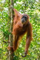 weiblicher Orang-Utan, der an einem Baum hängt