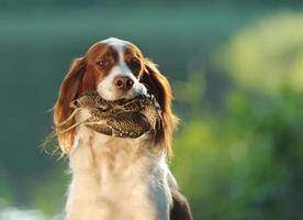 Jagdhund hält in Zähnen Schnepfe