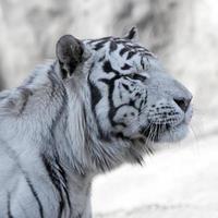 Bengalischer weißer Tiger foto