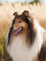 Porträt des rauen Collies des reinrassigen Hundes.