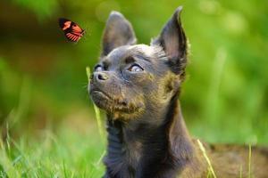 Chihuahua spielt mit einem roten Schmetterling