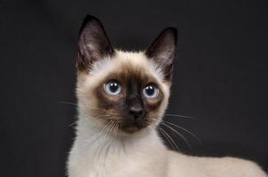 siamesisches Kätzchen auf einem dunklen Hintergrund foto