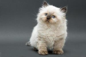 süßes britisches Kätzchen foto