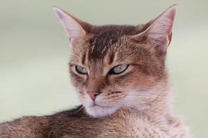 abessinische Katze foto