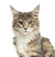 Nahaufnahme eines Maine Coon Kätzchens, das die Kamera betrachtet
