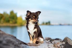 entzückender Chihuahua-Hund draußen im Herbst