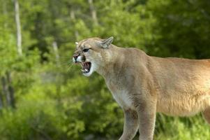 Puma knurrt foto