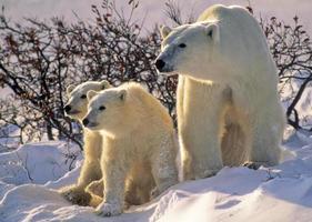 Eisbär mit Jungen foto