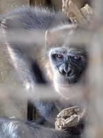 Affe in einem Käfig