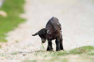 junge schwarze Ziege hat etwas zu essen gefunden