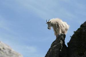 Bergziege, die auf harney Spitze aufwirft foto