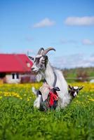 entzückende Ziege und Kind im Freien