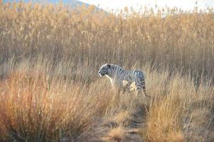 weißer Tiger foto