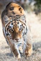 Tigerangriff foto