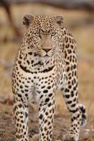 Leopard, großes Männchen am Boden offen foto