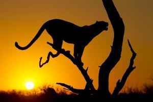 Leopard bei Sonnenaufgang foto