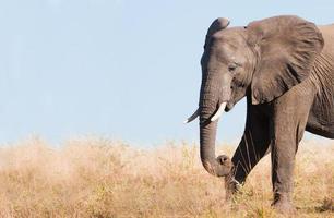 Elefant füttert im Gras