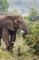 afrikanischer Elefant in freier Wildbahn foto