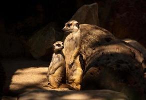 Erdmännchen Mutter und Kind.