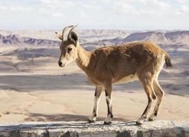 Nubischer Steinbock (Capra Nubiana). Ramon Krater. negev Wüste. Israel foto