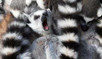 Kattas (Lemur catta) drängen sich zusammen