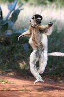 tanzender Lemur foto