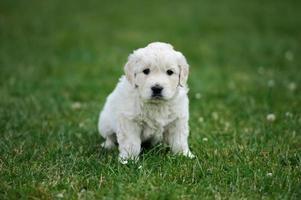 Baby Schweizer Schäferhund sitzen foto