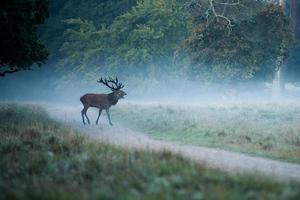 Hirsch im nebligen Wald foto