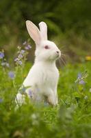 weißer Hase foto